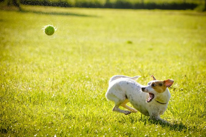 ball in mid air about to be caught by dog with mouth open Bonding And Rewarding Your Pooch