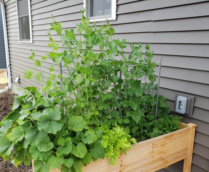 Stretching each dollar use a raised wooden garden box to grow your own produce sugar snap pea plants lettuce