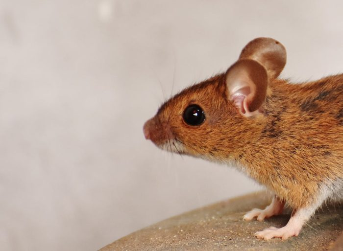mouse rodent What's Going Bump In The Night In Your Home? Night Noises In Your Home And What You Can Do About Them