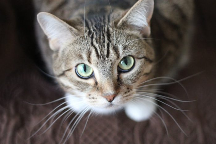tiger striped tabby cat green eyes looking up at you what could really liven up your family home