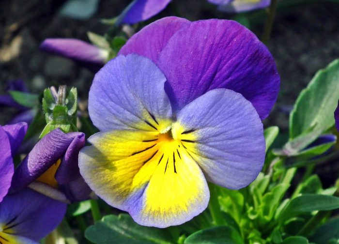 Spring Flower Garden Ideas purple yellow pansy spring bloom