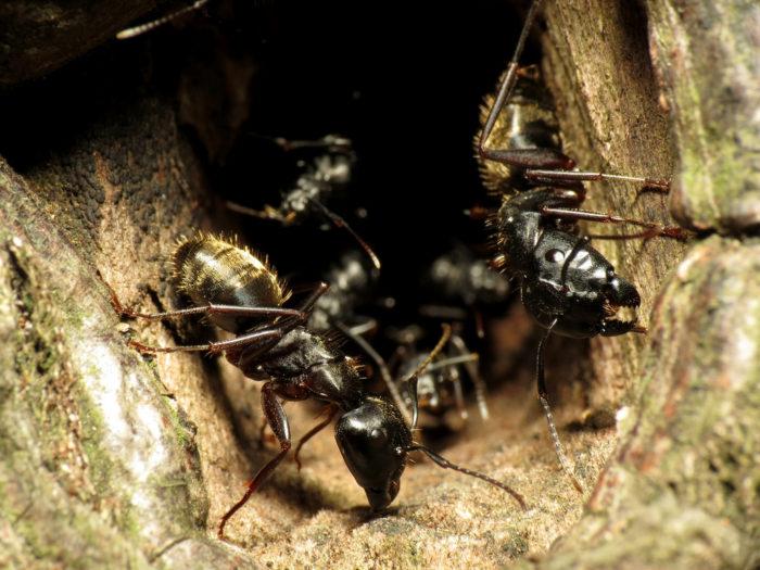 Nasty Parasites carpenter ants