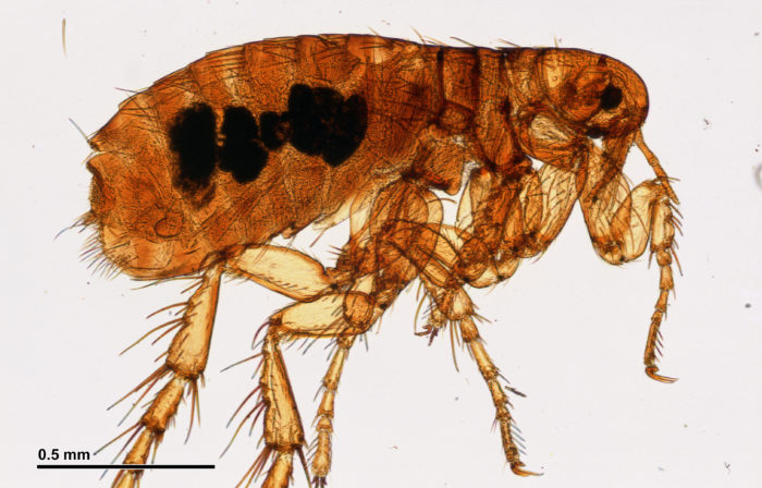 Nasty Parasites picture of a flea 0.5 mm