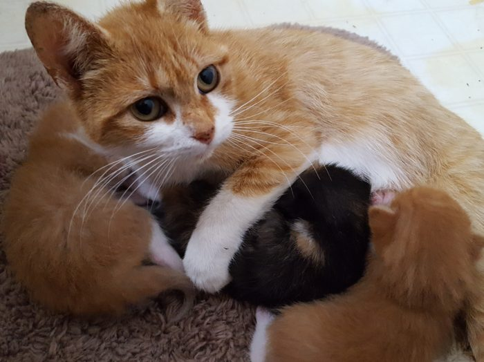 Photo of an orange and white tabby cat with kittens