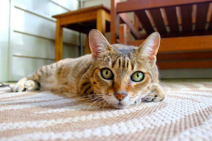 dust-ridden home cat on the carpet getting cat dander dust on it