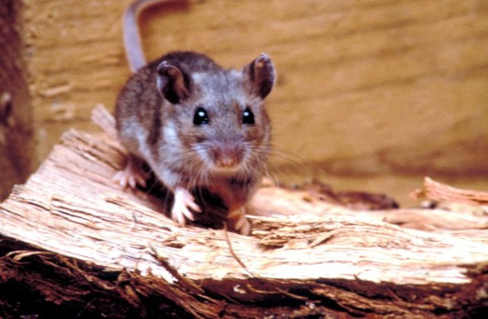How to get rid of a mouse in the house near the fire wood to rid your home of pests