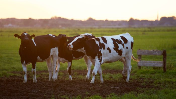 From the office to the field - become a farmer with dairy cows on your land