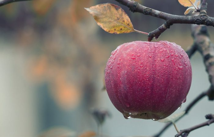 Forager's dream red apple with condensation on it on apple tree branch leaf