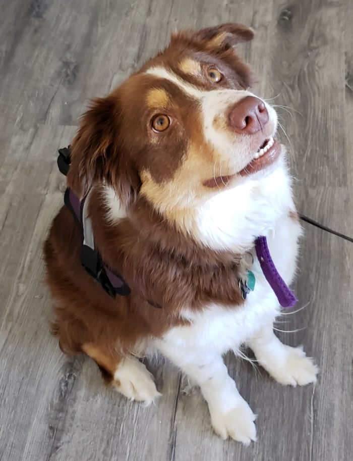 Honest chewy reviews border collie dog looking at her owner waiting for dog treats