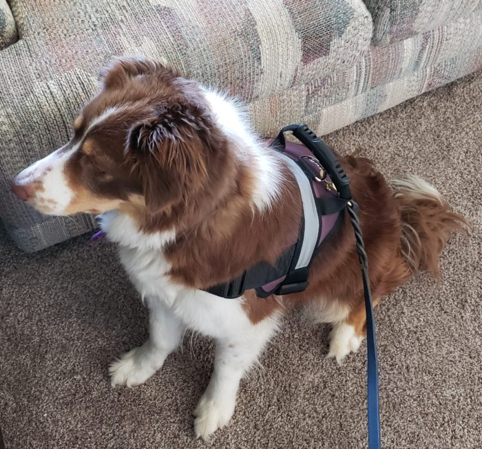 Honest chewy reviews border collie dog wearing HDP dog harness with handle