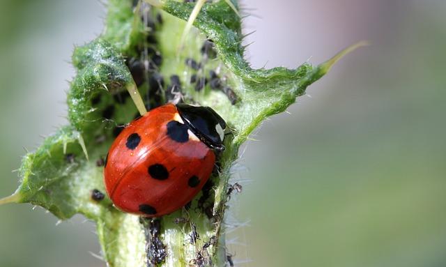 Backyard pests asian beetles ladybugs ladybug eating aphids on a leaf