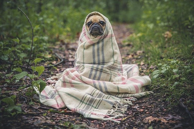 family pet dies cold pug dog wrapped in blanket in forest
