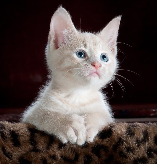 blue eyed light buff orange tabby kitten