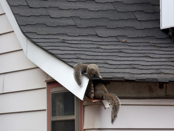 pinterest-pin-description Common household issues squirrels on roof entering home